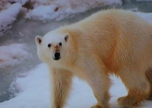 He was looking for frozen ice, or ice floes, essential for the survival of polar bears to hunt seals.